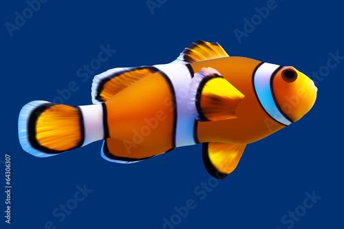 Fotografie, Obraz  Clownfish. Vector illustration. Isolated on blue