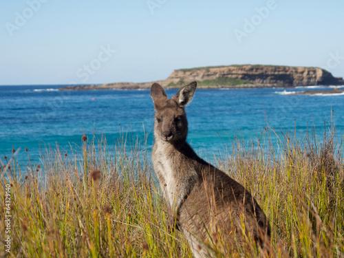 Fotobehang Kangoeroe portrait of at kangaroo at batemans bay beach