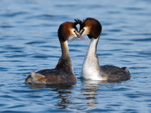 Great Crested Grebe Ducks Cour...