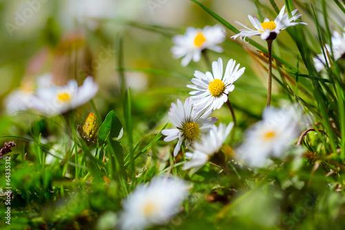 Staande foto Lente Daisy flowers in the spring grass