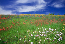Spring Meadow Filled With Wild...