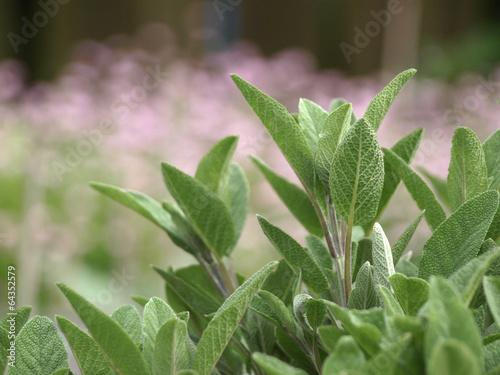 Fototapeta Sage in the herbal garden obraz