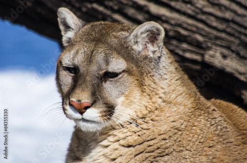 Poster Puma Mountain Lion