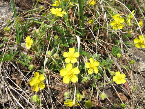 Foto  Blühendes Frühlings-Fingerkraut