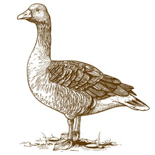 Vector Engraving Goose On Whit...