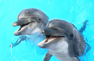 Fototapeta Glad beautiful dolphin smiling in a blue swimming pool water on