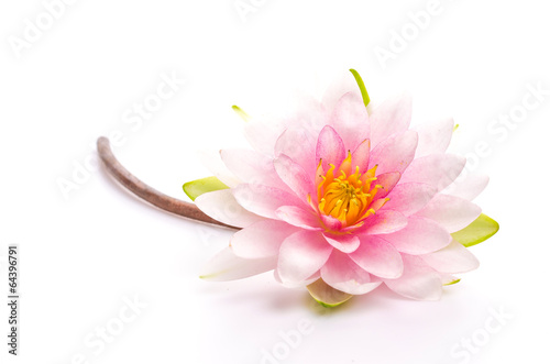 Garden Poster Lotus flower Lotus flower isolated white background