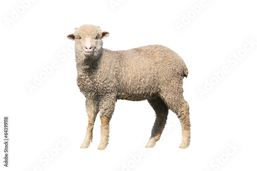 Foto op Canvas Schapen sheep isolated
