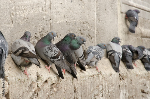 Pigeons on the Wall of New Mosque (Yenicami) Eminönü - Turkey