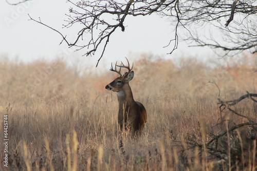 Fotografia  White-tailed Deer