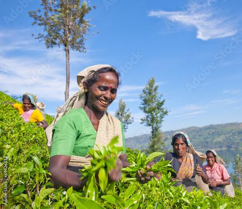 fototapeta na szkło Kobiety Zbieracze herbaty na Sri Lance