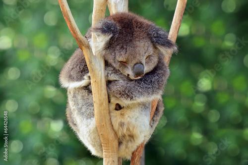 Photo Stands Koala Koala sleep on an eucalyptus tree