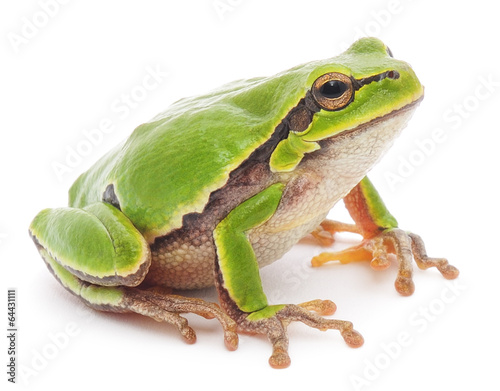 Photo sur Aluminium Grenouille Tree frog