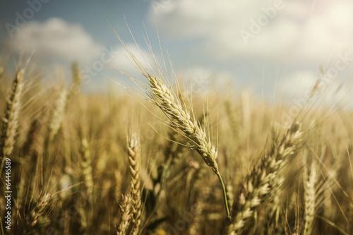 Wheat farm Poster