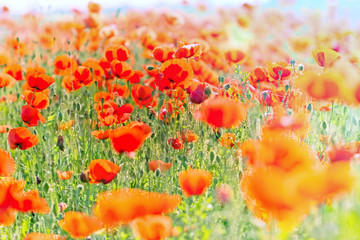 Fototapeta Field with wild red poppy flower