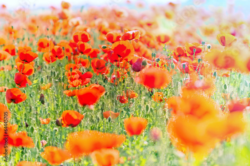 Field with wild red poppy flower