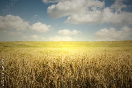 Huge Wheat  Farm Poster
