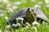 Fototapeta Zwierzęta - Żółw błotny na łące