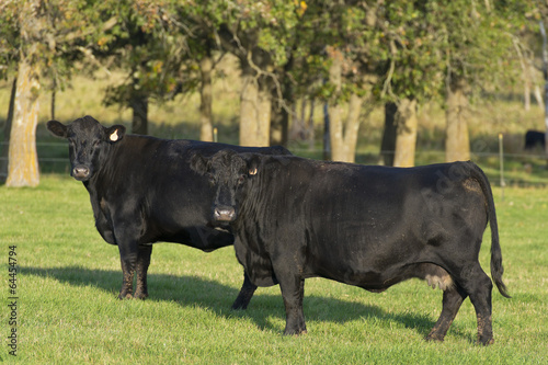 Fotografie, Obraz  Black Angus Cattle