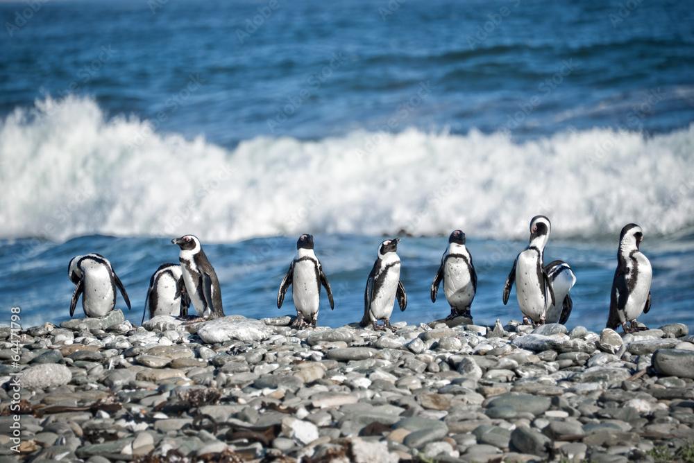 Penguins aligned, South Africa