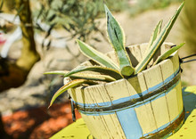 Nice Aloe Vera In An Old Pot