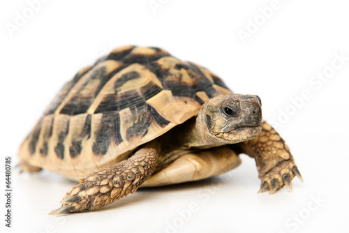 Photo sur Toile Tortue turtle in front of white background
