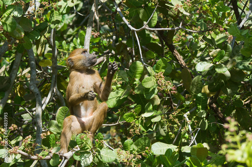 Fotografie, Obraz  Western Baboon (Papio papio) looking for the next cashew apple t