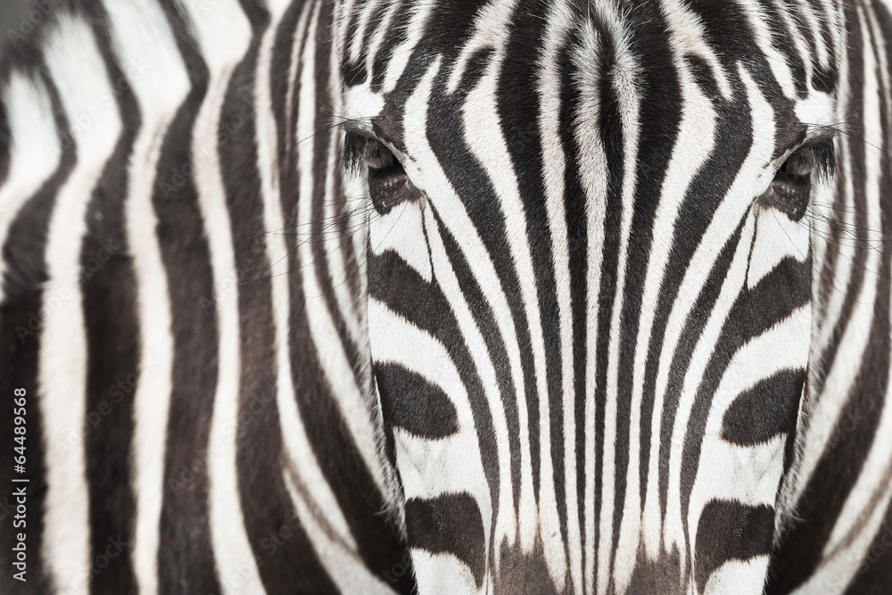 Fototapety, obrazy: Close-up of zebra head and body with beautiful striped pattern
