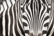 Close-up of zebra head and body with beautiful striped pattern