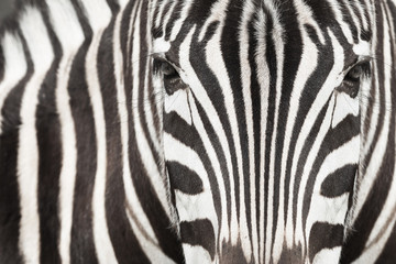 Fototapeta Close-up of zebra head and body with beautiful striped pattern