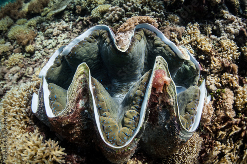 Photo  Giant Clam 2