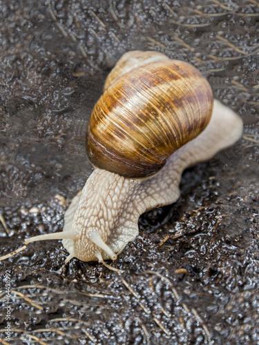 Poster Ezel Burgundy snail in a garden after rain