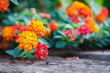 Lantana Flower On Wood Ground