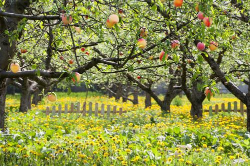 Fotografija  Peaches On A Trees