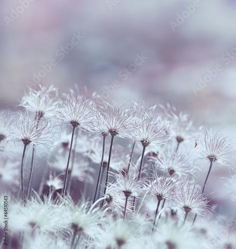 Fototapety, obrazy: Pasque Flowers
