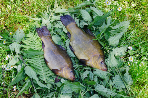 Valokuvatapetti large tench lying on the tufts of nettle outdoor