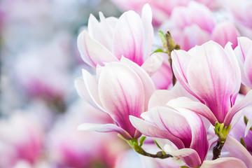 Fototapeta na wymiar pink flower magnolia