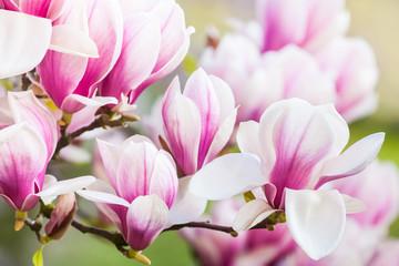 Fototapeta Egzotyczne pink flower magnolia