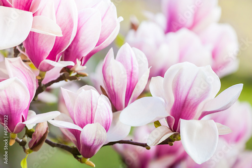 Spoed Foto op Canvas Magnolia pink flower magnolia