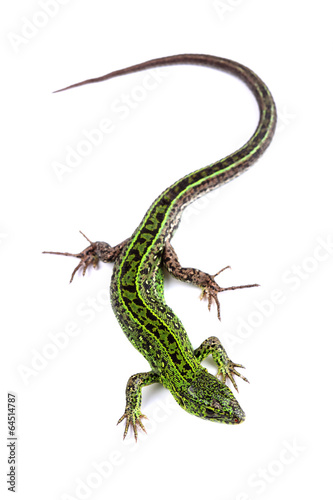 Photo  Sand lizard (Lacerta agilis) isolated on white