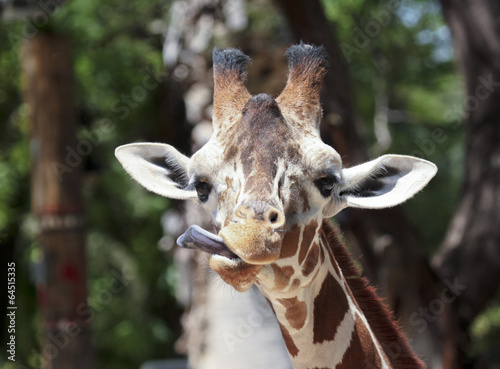 Photo  A Giraffe Sticks Out its Long Tongue