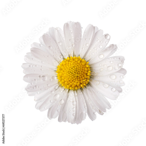 Canvas Print white daisy flower with dew drops