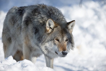 The Arctic Wolf On The Prowl