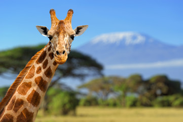 Fototapeta Giraffe in front of Kilimanjaro mountain