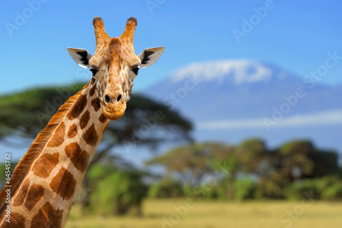 Spoed Foto op Canvas Giraffe Giraffe in front of Kilimanjaro mountain