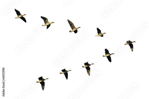 Bean geese in flight