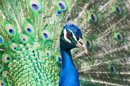 Fototapety Sport  peacock-w-parku-retiro-madryt-hiszpania