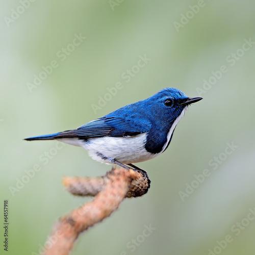 Foto op Plexiglas Vogel male Ultramarine Flycatcher