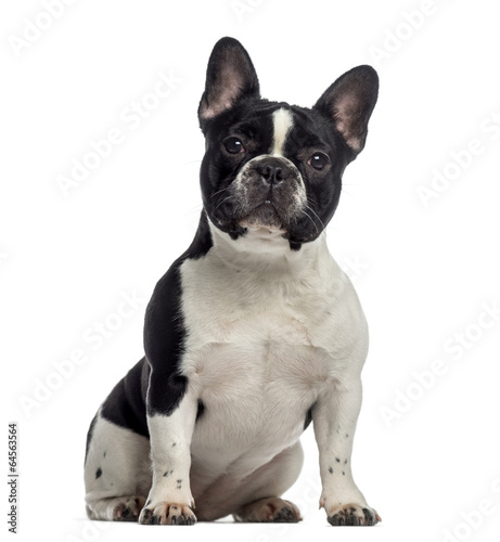 Poster Bouledogue français French Bulldog sitting (11 months old)