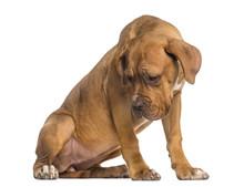 Dogue De Bordeaux Puppy Lookin...